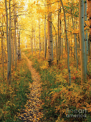 Forest Floor Photograph - Path Through Aspens by James Steinberg
