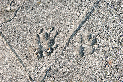 Asphalt Photograph - Paw Prints by Tom Gowanlock