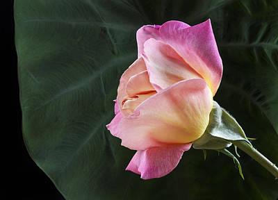 Peace Rose Photograph - Peace Rose In Front Of Lotus Leaf by Jean Noren