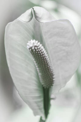 Eureka Springs Photograph - Peace Lily Elegance by Carolyn Marshall