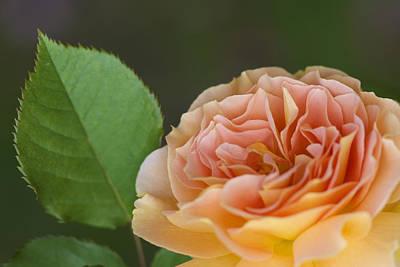 Peace Rose Print by Jane Eleanor Nicholas