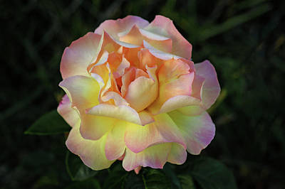 Peace Rose Photograph - Peace Rose by Sandy Keeton