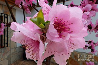 Peach Blossom 2 Print by Rod Jones