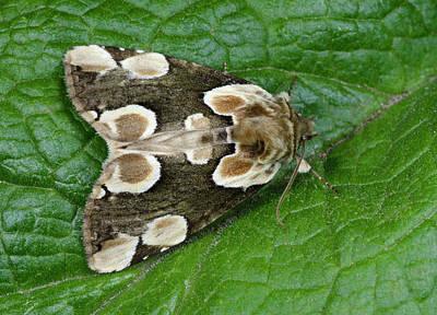 Peach Blossom Moth Print by Nigel Downer