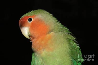 Peach-faced Lovebird Photograph - Peach Faced Lovebird by Terri Waters