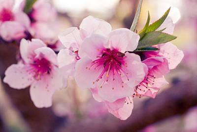 Peach Orchards In Spring Bloom Original by Teri Virbickis