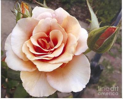 Peach Rose 1 Print by Rod Ismay