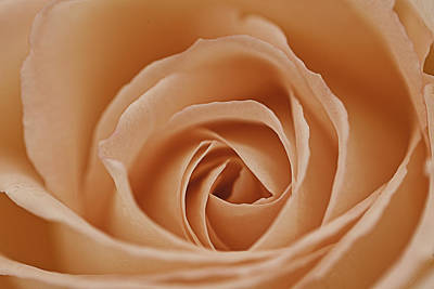 Peach Rose Print by Lesley Rigg