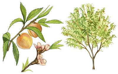 Peach Tree Print by Anonymous