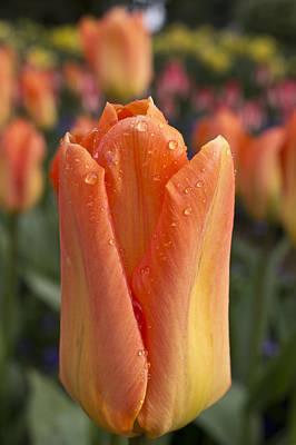 Peach Tulip Print by Priya Ghose