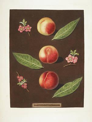 Pomona Photograph - Peaches by British Library