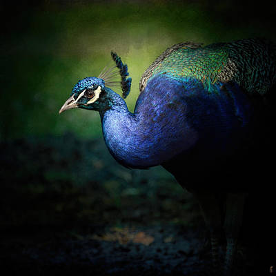 Peacock Photograph - Peacock 1 - Wildlife by Jai Johnson
