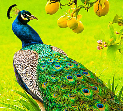 Photograph - Peacock And Lemons by Patty MacInnis
