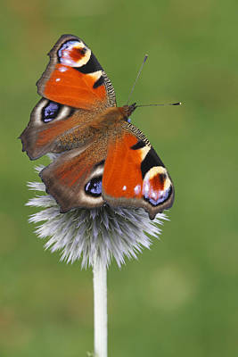 Arthropod Photograph - Peacock Butterfly Netherlands by Silvia Reiche