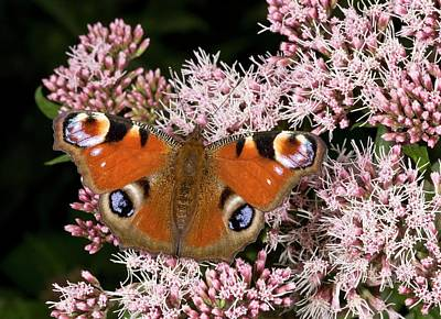 Eating Entomology Photograph - Peacock Butterfly On Hemp Agrimony by Bob Gibbons