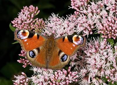 Hemp Photograph - Peacock Butterfly On Hemp Agrimony by Bob Gibbons