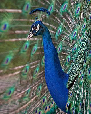 Peacock Display Print by Susan Candelario