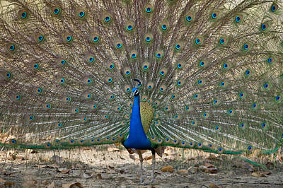 Peafowl Photograph - Peacock Displaying Its Plumage by Panoramic Images