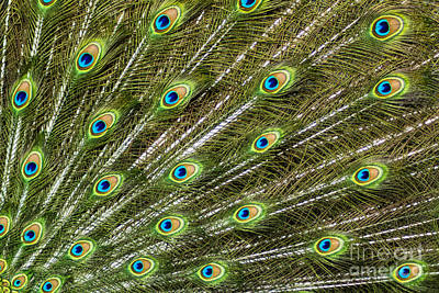Peacock Feather Abstract Pattern Print by Darleen Stry