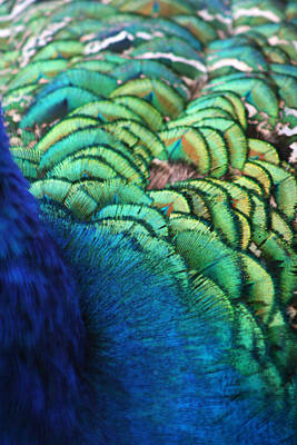 Pheasant Photograph - Peacock Feathers by Heather Applegate