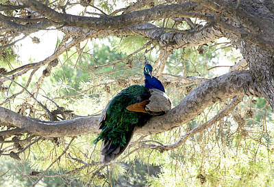 Peacock Photograph - Peacock by Gina Dsgn