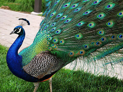 Grounds For Photograph - Peacock II by Denise Keegan Frawley