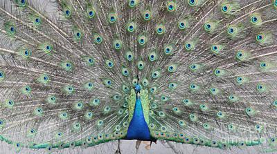 Photograph - Peacock by John Telfer