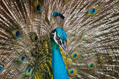 Peacock Photograph - Peacock by Louise Heusinkveld