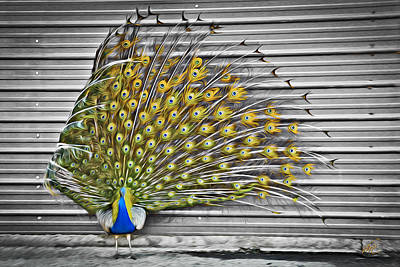 Peacock Print by Williams-Cairns Photography LLC