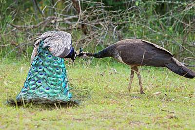 Peafowl Photograph - Peafowls Allopreening by Tony Camacho