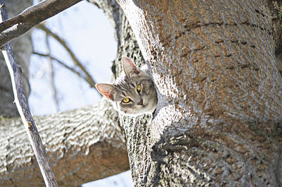 Gray Tabby Photograph - Peaking Cat by Sharon Popek