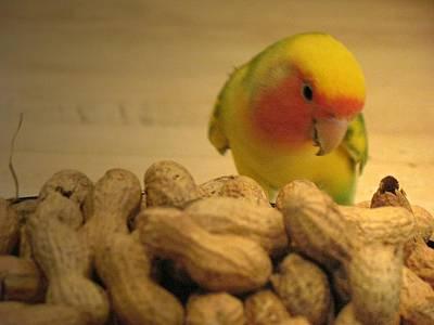 Peach-faced Lovebird Photograph - Peanut  by  Andrea Lazar