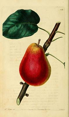 Pear 1829 Print by Philip Ralley