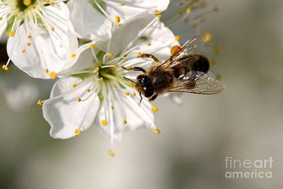 Bee Photograph - Pear Blossom With Bee by Amanda Mohler