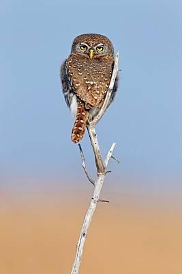 Owlet Photograph - Pearl-spotted Owlet by Bildagentur-online/mcphoto-schaef