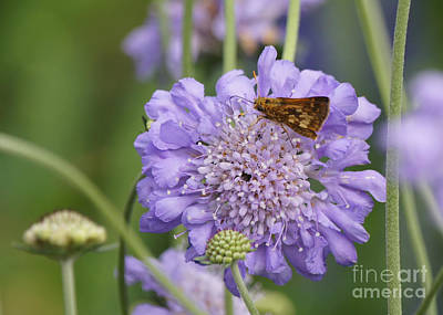 Peck's Skipper Butterfly On Pincushion Flower Print by Robert E Alter Reflections of Infinity