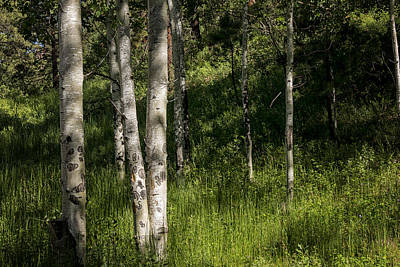 Pecos Wilderness Aspen - Pecos New Mexico Print by Brian Harig