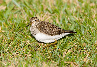 Sandpiper Photograph - Pectoral Sandpiper by Anthony Mercieca