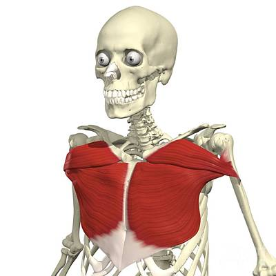Pectoralis Major Print by Medical Images, Universal Images Group