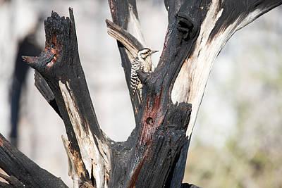 Pedernales Park Ladderback Woodpecker Print by JG Thompson