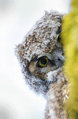 Owlet Photograph - Peek A Boo Baby Owl by Angie Vogel