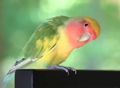 Peach-faced Lovebird Photograph - Peeking Peach Face Lovebird by  Andrea Lazar