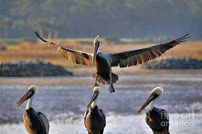 Pelican Coming In For Landing Print by Dan Friend