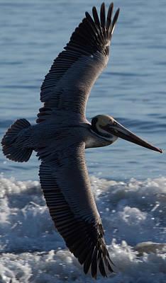 Pelican Flight Print by John Daly