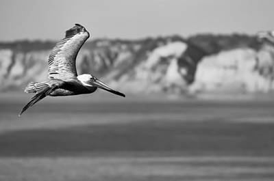 Pelican In Black And White Print by Sebastian Musial