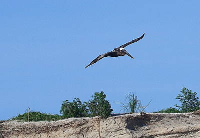 Feather Photograph - Pelican In Flight 2 by Cathy Lindsey