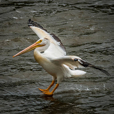 Bif Photograph - Pelican Landing by Paul Freidlund