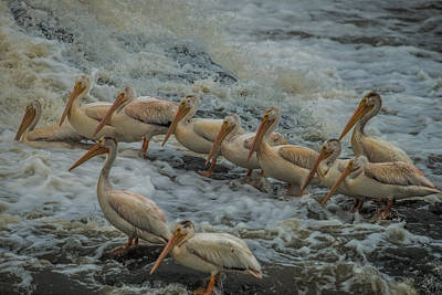 Bif Photograph - Pelican Lineup by Paul Freidlund