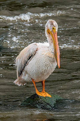 Bif Photograph - Pelican On A Rock by Paul Freidlund