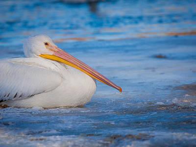 Pelican On Ice Print by Chris Hurst
